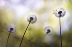 Bande de potes (donlope1) Tags: dandelion flower flora nature outdoors seed color delicate pissenlit bokeh macro proxi proxy