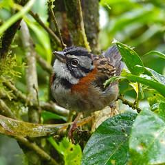 Rufous-collared Sparrow (Zonotrichia capensis).  Refugio Paz de las Aves.  Tandayapa Valley, north-western Ecuador. (cbrozek21) Tags: rufouscollaredsparrow zonotrichiacapensis refugiopazdelasaves ecuador bird sparrow ecuadorbirds nature animal 7dwf