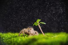 Rainy Night (nadzli.azlan7) Tags: nature macro close up closeup grass mossystone setup studio tree minitree sidelight