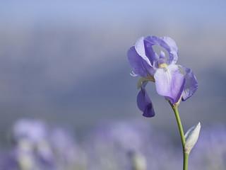Mer d'iris **
