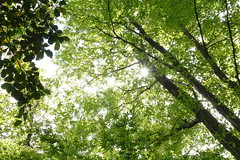 New green (rawiinyo) Tags: leaf 葉 backlit 逆光 newgreen 新緑 sunlightthroughtrees 木漏れ日