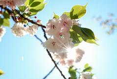 Sunlight in April (sapphire_rouge) Tags: 東京 shinjuku 新宿 shinjyukugyoen 新宿御苑 tokyo 桜 八重桜 日本 spring 春 cherryblossom 花見 cherry ngc japan