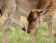 Fallow Deer (Frozen in Vision) Tags: daim ciervo en barbecho damhirsch 小鹿 かわいそう олень साथी हिरन الأيلات المراحة אייל פול fallow deer
