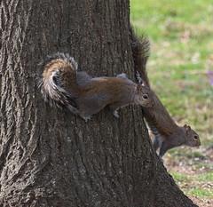 5D2A0015-1 Pair Gray Squirrels (John Pohl2011) Tags: canoneos7dmarkii canon eos7dmarkii 100400mm 100400mmlens john pohl animal mammal rodent