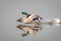 Mallard (terrylaws526) Tags: birds mallard newhythe