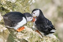 Give us a kiss... (Maria-H) Tags: puffin bempton england unitedkingdom gb fraterculaarctica rspb bemptoncliffs yorkshire uk olympus omdem1markii panasonic 100400