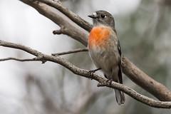 Scarlet Robin 2017-04-22 (60D_9910) (ajhaysom) Tags: scarletrobin petroicaboodang woodlandshistoricpark greenvale melbourne australia australianbirds canoneos60d sigma150600
