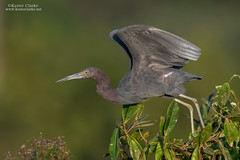 Little Blue Heron (Kester Clarke) Tags: birds egrettacaerulea guyana herons linden littleblueheron