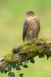 Sparrowhawk - male (Accipiter nisus)