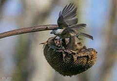 Il pranzo della cinciabigia (Danilo Agnaioli) Tags: uccelli passeriformi natura inverno 2017 italia umbria
