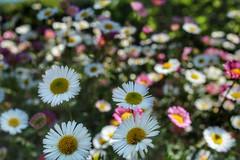 4 (mirguzman) Tags: flor mac nature flo flower flowers color 4 margaritas colores gijon asturias