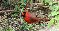 Northern Cardinal -- Male (Cardinalis sinuatus); Corkscrew Swamp Sanctuary, FL [Lou Feltz] (deserttoad) Tags: nature trees swamp florida bird wildbird songbird passerine cardinal preserve