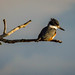 2017March | Belted Kingfisher | Sunrise