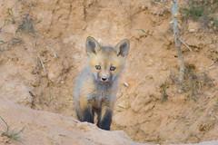 Heart Stealer (Amy Hudechek Photography) Tags: fox kits babies baby nature wildlife spring colorado amyhudechek