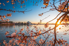 Cherry blossoms 2017 (Erinn Shirley) Tags: erinnshirley cherryblossoms washingtondc jeffersonmemorial sakura outdoors usdepartmentoftheinterior nationalparkservice tidalbasin sky sundet water landscape 2017 nationalmall tree