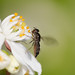 White footed Hoverfly