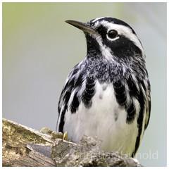 black and white warbler (Christian Hunold) Tags: blackandwhitewarbler warbler songbird bird bokeh portrait baumläuferwaldsänger johnheinznwr philadelphia christianhunold