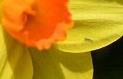 Hopper board! (suekelly52) Tags: hopper flower daffodil insect wingwednesday