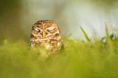 Ssshhhh... It's Monday, So Wake Me On Friday. (ac4photos.) Tags: owl burrowingowl littleowl nature wildlife animal bird florida naturephotography wildlifephotography birdphotography owlphotography animalphotography nikon d500 tamron150600mm ac4photos ac