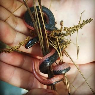 Western worm snake in dirty Ike hands.