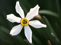 i love me (LoomahPix) Tags: alpines amaryllidaceae beautiful beauty colour flora floral flower kew kewgardens narcissuspoeticus natural nature organic spring