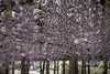 DSC_1622 (sayo-tsu) Tags: 埼玉県 春日部市 kasukabe saitama wisteria 藤 特別天然記念物 牛島のフジ