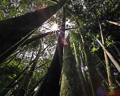 Stronger (Robyn Hooz) Tags: bambu high tall 40 meters borneo jungle forest malaysia wide angle grandangolo svettare