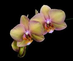 Phaleonopsis (ulrichcziollek) Tags: orchidee orchideen phaleonopsis blüte blüten blume flower stacks makro macro