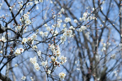 IMG_0652crs (kenta_sawada6469) Tags: flower flowers spring tree trees nature macro japan japanese japaneseapricot ume white