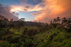 Sunrise at Rice Terraces (Martin Zurek) Tags: bali gyaniar indonesien tegalalangriceteracce canon zeiss distagont2815 ze indonesia ubud tegalalang rice field trees palm sky clouds landscape nature view travel holiday 5dsr g