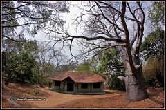 6799 - baobab  tree (chandrasekaran a 40 lakhs views Thanks to all) Tags: baobab trees nature india chennai ultrawide samyang8mm canon60d