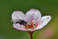 nectar hoover (conall..) Tags: inapotonmypatio raynox dcr250 macro closeup saxifrage alpine patop flower pot fly nectar feeding nectaring