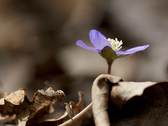 Hépatique violette (JMVerco) Tags: coth flickrchallengegroup