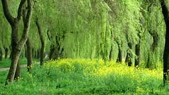 KOOLZAAD EN WILGEN || RAPESEED AND WILLOW-TREES| (Anne-Miek Bibbe) Tags: canonpowershotsx280hs annemiekbibbe bibbe nederland 2017 krimpenaandenijssel waterliniepad koolzaad wilgen willowtrees rapeseed