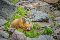 Rough and Tumble (William Horton Photography) Tags: fs520 forestserviceroad520 rockymountains sanjuanmountains stonypassroad yellowbelliedmarmots juvenalmarmots marmots marmotsplaying play
