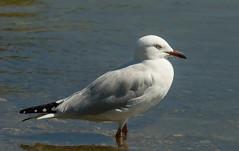 Silver Gull - Western Australia (david_j_boorman) Tags: silvergull