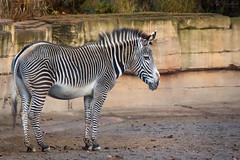 Zebra (Cloudtail the Snow Leopard) Tags: zebra grevyzebra pferd equus grevyi horse mammal säugetier tier animal zoo wilhelma stuttgart