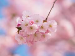 Sakura Bavariae (2) (Karsten Gieselmann) Tags: 75mmf18 apertureblending baum blau blüten bokeh bäume dof em5markii farbe frühling jahreszeiten kirschblüte mzuiko microfourthirds natur olympus pflanzen rosa schärfentiefe sonne wetter blue color kgiesel m43 mft nature pink seasons spring sun tree trees weather