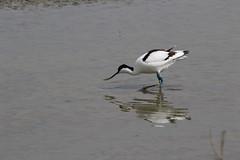 Avocet (roger_forster) Tags: recurvirostraavosetta avocet titchfieldhaven nature reserve feeding meonshore hide wild bird spring hillhead hampshire