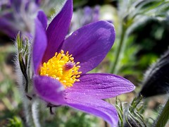 Küchenschelle, Kuhschelle (Pulsatilla vulgaris) (to.wi) Tags: küchenschelle towi makro macro blume flower alb schwäbischealb pulsatillavulgaris kuhschelle
