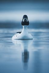 20170406_063335.jpg (jussidimitrijeff) Tags: bird helsinki seurasaari goldeneye
