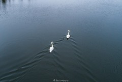 Luiged lennult (BlizzardFoto) Tags: luiged swans lake järv vesi water droonifoto dronephotography aerofoto aerialphotography