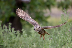 Great Horned Owl (wlb393) Tags: greathornedowl birds sycamoregrove livermore s8k9400