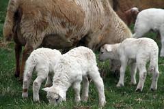 Three (baalands) Tags: katahdin hair sheep ewe lambs grazing grass spring farm triplets