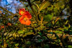 Spring (pasiak75) Tags: 2017 czerwony flower joy kwiat radość red spring wiosna