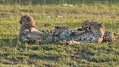 Cheetah Wake Up! (Raymond J Barlow) Tags: cheetah africa tanzania wildlife travel adventure phototours raymondbarlow green animals