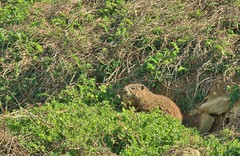 Groundhog (stevebopp1) Tags: animals groundhog woodchuck