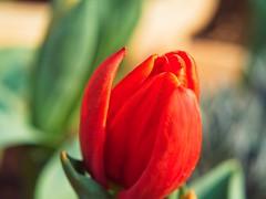Springtime Scenes (Jon-Fū, the写真machine) Tags: outdoors 野外 nature 自然 plant plants 植物 flora flower flowers 花 華 jonfu 2017 olympus omd em5markii em5ii em5mkii em5mk2 em5mark2 オリンパス mirrorless mirrorlesscamera microfourthirds micro43 m43 mft μft マイクロフォーサーズ ミラーレスカメラ ミラーレス一眼カメラ ミラーレス機 ミラーレス一眼 snapseed japan 日本 nihon nippon ジャパン ジパング japón जापान japão xapón asia アジア asian orient oriental aichi 愛知 愛知県 chubu chuubu 中部 中部地方 nagoya 名古屋