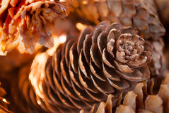 Pine cone-seeds [MM] Explored 18/04 (Tamim Tamim) Tags: pine cone pinecone bokeh macro warm tree seed macromondays seeds