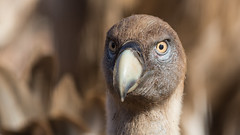 126.2 Vale Gier-20170405-J1704-47782 (dirkvanmourik) Tags: buitreleonado corvisser eurasiangriffon gypsfulvus ineziatoursgierenfotografiereisapril2017 spanje valegier vogelsvaneuropa bird